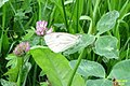 Green-veined white (NH) (8043249866).jpg
