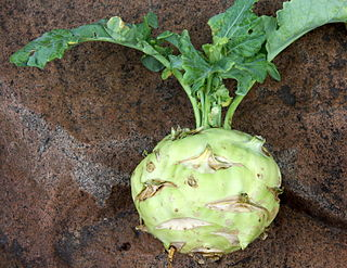 Kohlrabi annual vegetable, and is a low, stout cultivar of cabbage