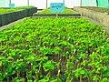 Greenhouses in mahallat 19.jpg