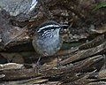 Grey-breasted Wood-wren (Henicorhina leucophrys) (20089196513).jpg