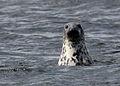 Grey Seal (Halichoerus grypus).jpg