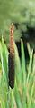 Grote lisdodde (Typha latifolia).JPG