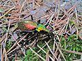 Ground Beetle (Chrysotribax rutilans perignitus) (8338547910).jpg