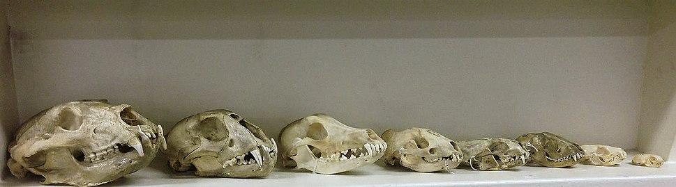 Group Carnassial teeth