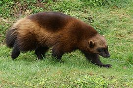 Gulo gulo -Whipsnade Zoo, Bedfordshire, England-8a.jpg