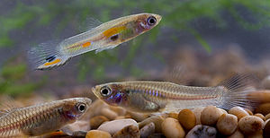 Guppy - Wild male and female guppies