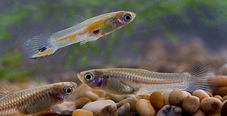 Wild guppies