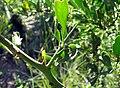 Gymnosporia buxifolia thorn.JPG