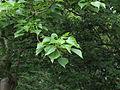 Gyrocarpus americanus leaf.JPG
