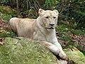 Hélone , de witte leeuwin.jpg
