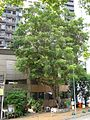 HK 般咸道 Bonham Road 學林雅軒 Hilary Court Banyan tree July 2016 DSC.jpg