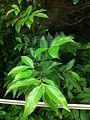 HK Admiralty 添馬公園 Tamar Park tree 陰香 Cinnamomum burmannii Nov-2013 022.JPG