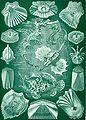 Haeckel Teleostei.jpg