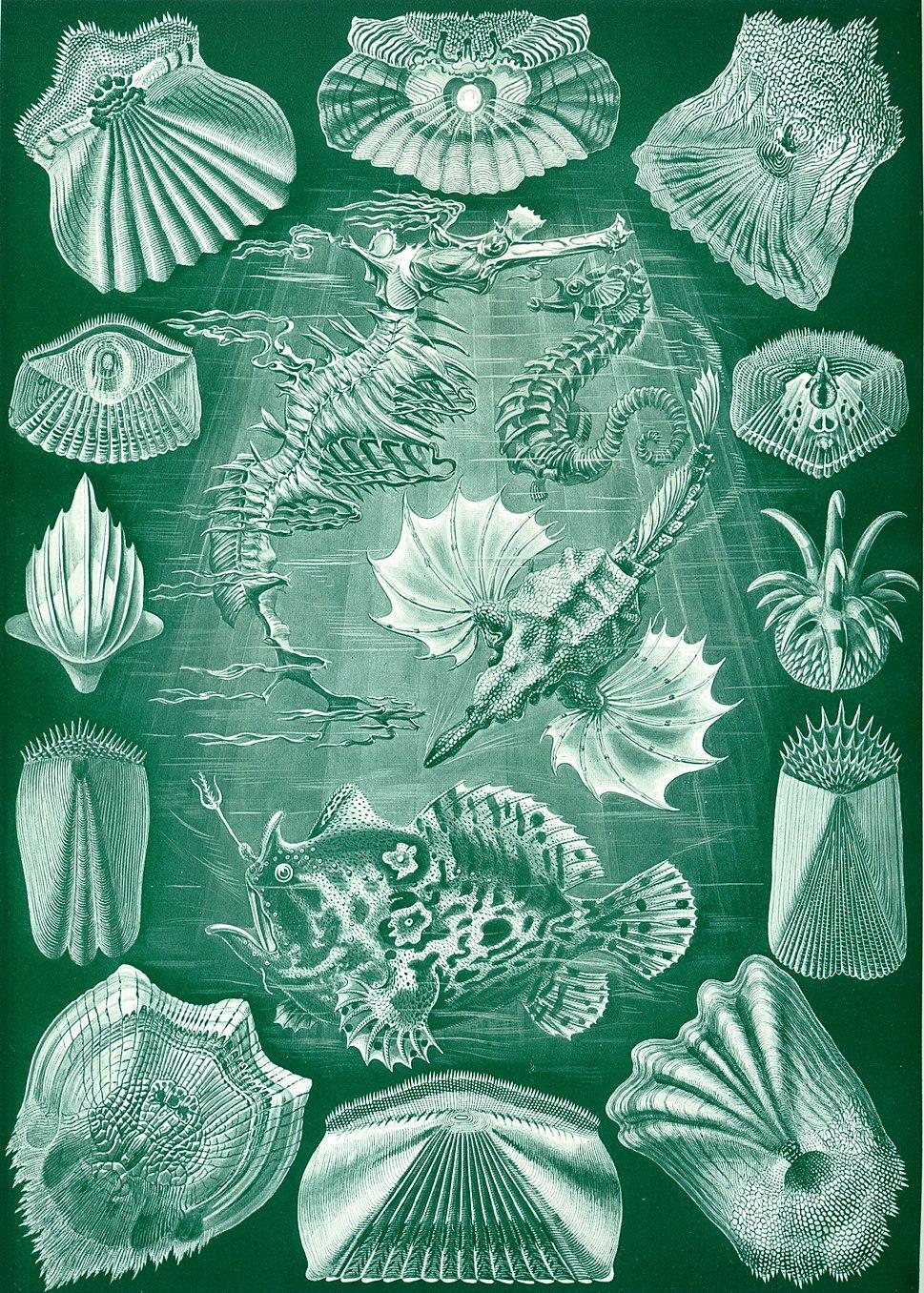 Haeckel Teleostei