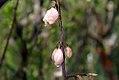 Halesia tetraptera 5zz.jpg