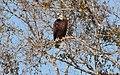 Haliaeetus leucocephalus (Bald Eagle) 108.jpg