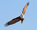 Haliastur indus -Karratha, Pilbara, Western Australia, Australia -flying-8 (7).jpg