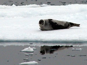 Harp seal - Image: Harp seal