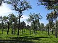 Harrison Malayalam Tea Garden Munnar 114701.jpg