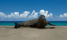 Hawaiian-Monk-Seal.jpg