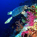 Hawksbill turtle at Elphinstone Reef, Red Sea, Egypt (36522421716).jpg