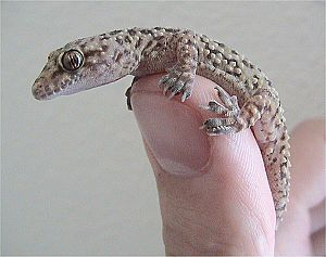 Mediterranean house gecko - Gecko being handled by a human