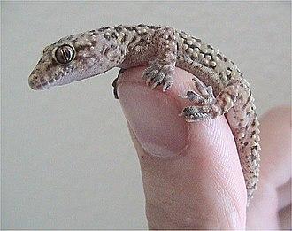 Mediterranean house gecko - Gecko being handled by a human