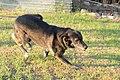 Herder korthaar רועה הולנדי בעל רגלים לבנות מסוג.jpg