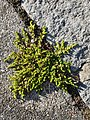 Herniaria glabra sl9.jpg
