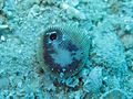 Heterocyathus aequicostatus, Aspidosiphon muelleri.jpeg