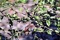 Hibiscus greveanus 2zz.jpg