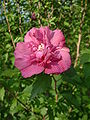 Hibiscus syriacus RB1.JPG