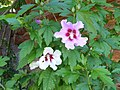 Hibiscus syriacus with different-colored flowers.jpg