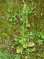 Himantoglossum hircinum Champcevinel (8).JPG