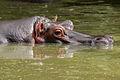 Hippopotamus amphibius from Venezuela.jpg