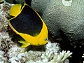 Holacanthus tricolor 1.jpg