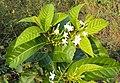 Holarrhena pubescens 08.JPG
