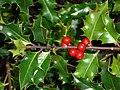 Holly plant delight (4223446276).jpg
