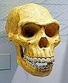 Homo erectus skull.jpg