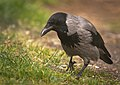 Hooded crow (49841333077).jpg