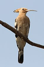 Hoopoe by Davidraju (cropped).jpg