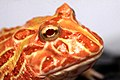 Horned Frog (19).jpg