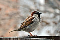 House Sparrow Male (Passer Domesticus).jpg