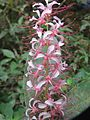 Humboldtia brunonis flowers at Kunnathurpadi (5).jpg