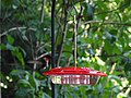 Hummingbird - Mt. Cuba Center - Wilmington DE (7654855744).jpg