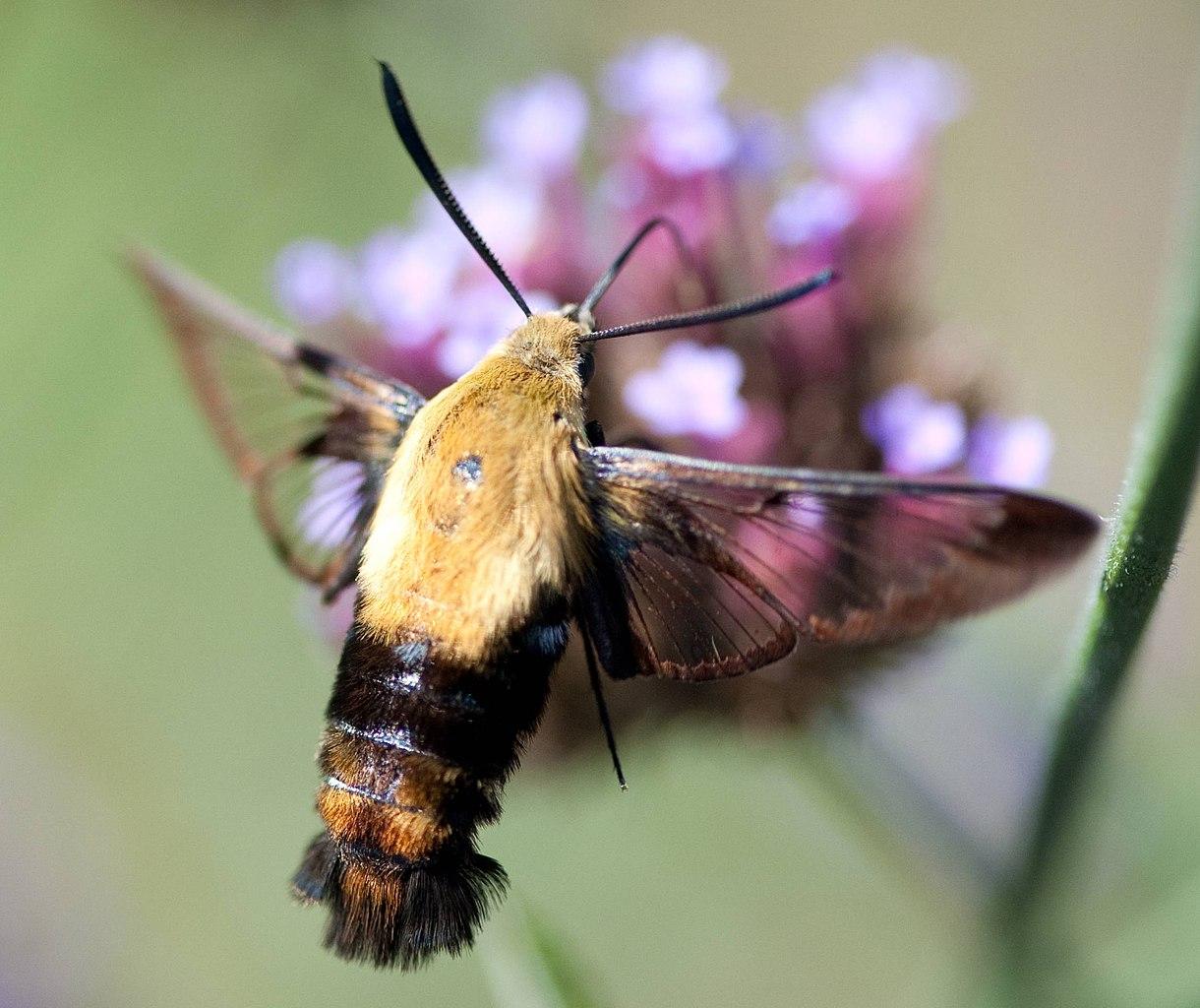 Bee that looks like a hummingbird 6