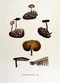 Hydnum auriscalpium — Flora Batava — Volume v15.jpg