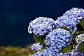 Hydrangea, Flores island (5999457352).jpg