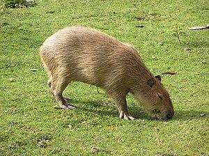 Hystricomorpha - Capybara
