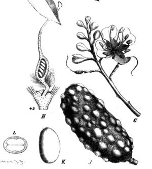 Hymenaea verrucosa - Image: Hymenaea verrucosa Taub 77c